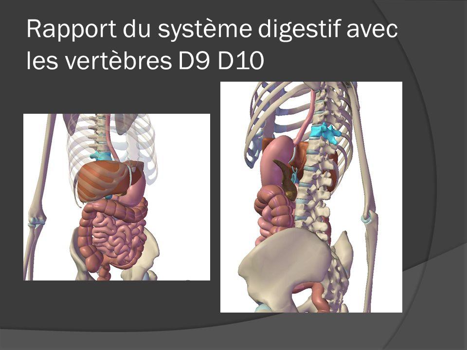 Rapport du système digestif avec les vertèbres D9 D10