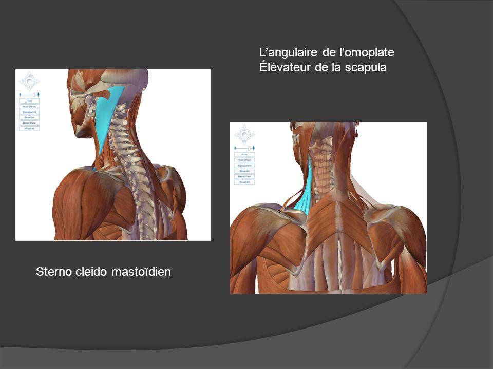 Sterno cleido mastoïdien Langulaire de lomoplate Élévateur de la scapula