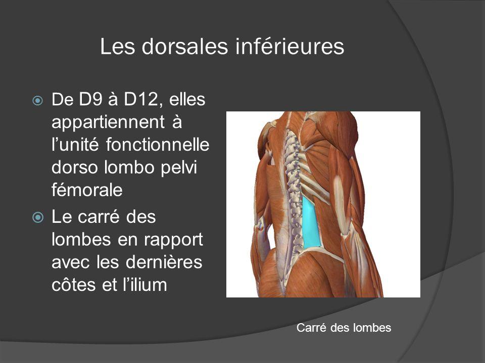 Les dorsales inférieures De D9 à D12, elles appartiennent à lunité fonctionnelle dorso lombo pelvi fémorale Le carré des lombes en rapport avec les de