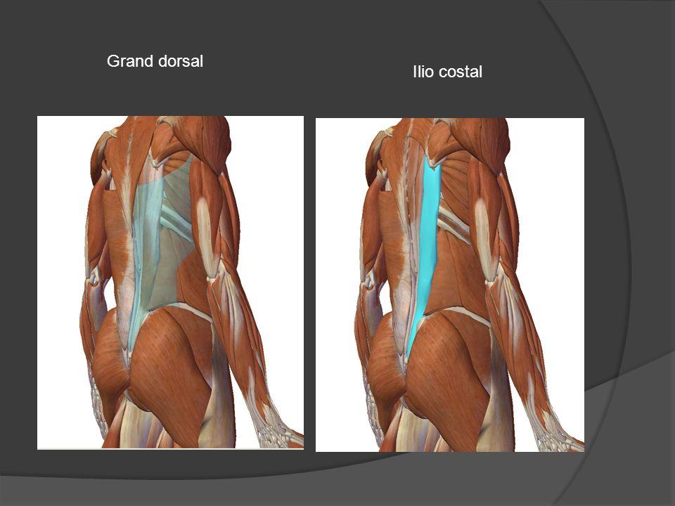 Grand dorsal Ilio costal