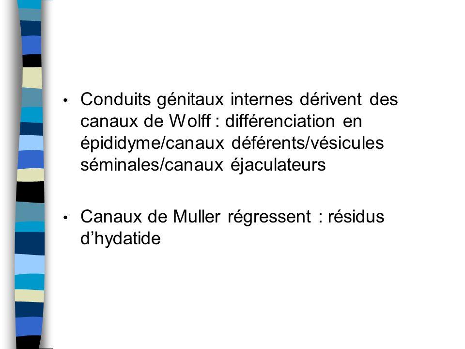 Conduits génitaux internes dérivent des canaux de Wolff : différenciation en épididyme/canaux déférents/vésicules séminales/canaux éjaculateurs Canaux