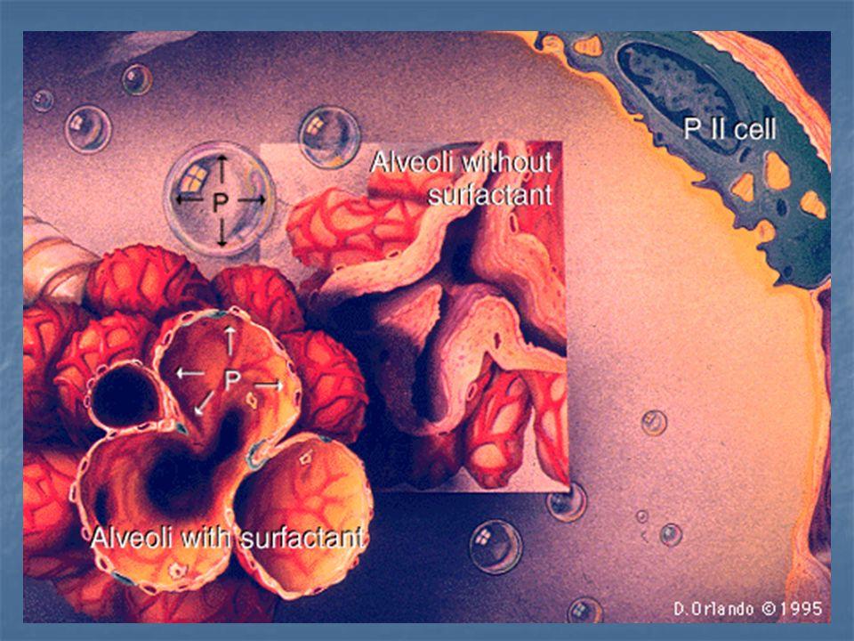 SP-A Liaison aux macrophages alvéolaires Liaison aux macrophages alvéolaires Chimiotactisme Chimiotactisme Opsonisation et Phagocytose des pathogènes bactériens, viraux et fungiques Opsonisation et Phagocytose des pathogènes bactériens, viraux et fungiques Liaison aux pneumocytes II Liaison aux pneumocytes II Stimule la recapture des PL Stimule la recapture des PL Inhibe la sécrétion des PL Inhibe la sécrétion des PL
