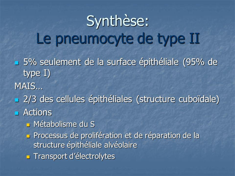 Synthèse: Le pneumocyte de type II 5% seulement de la surface épithéliale (95% de type I) 5% seulement de la surface épithéliale (95% de type I)MAIS…