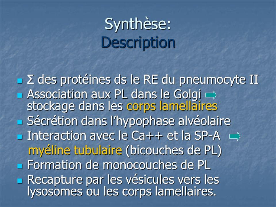 Synthèse: Description Σ des protéines ds le RE du pneumocyte II Σ des protéines ds le RE du pneumocyte II Association aux PL dans le Golgi stockage da