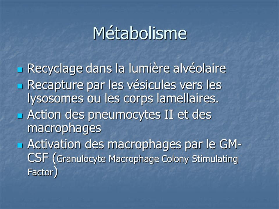 Métabolisme Recyclage dans la lumière alvéolaire Recyclage dans la lumière alvéolaire Recapture par les vésicules vers les lysosomes ou les corps lame