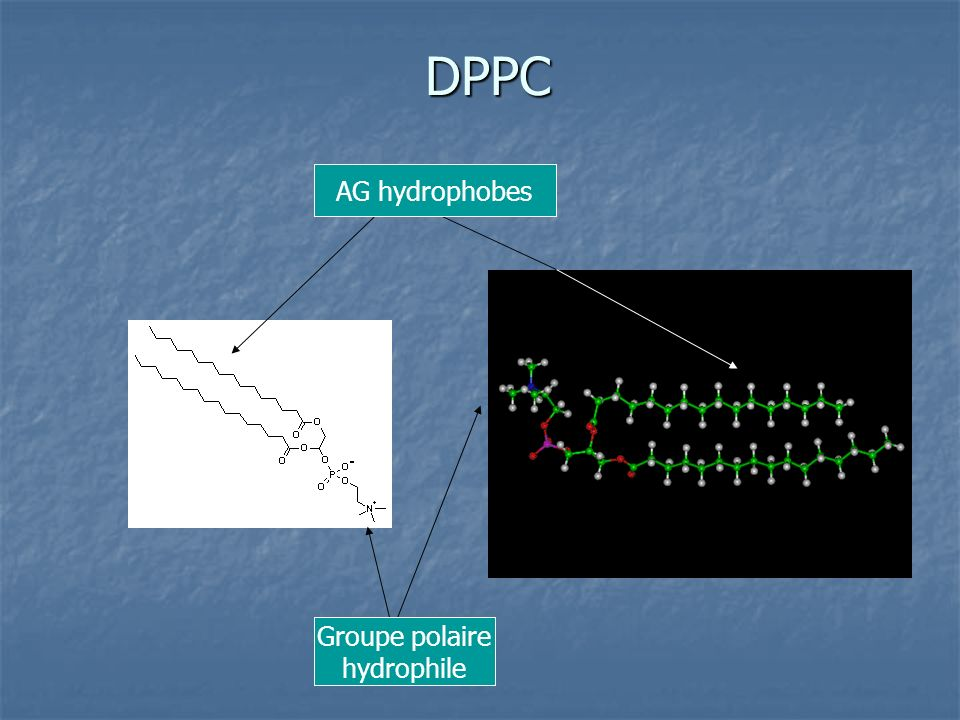 DPPC Groupe polaire hydrophile AG hydrophobes