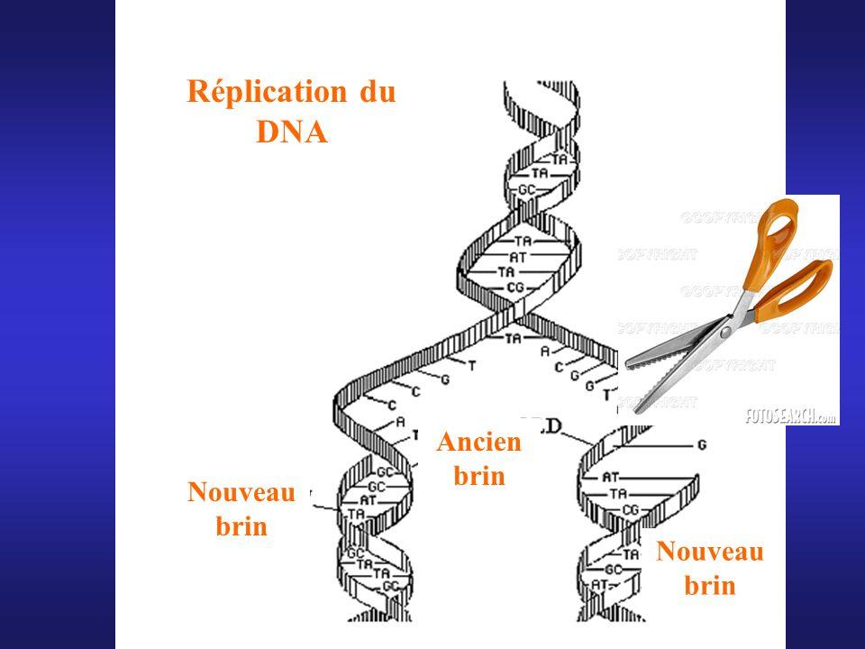 Réplication du DNA Ancien brin Nouveau brin