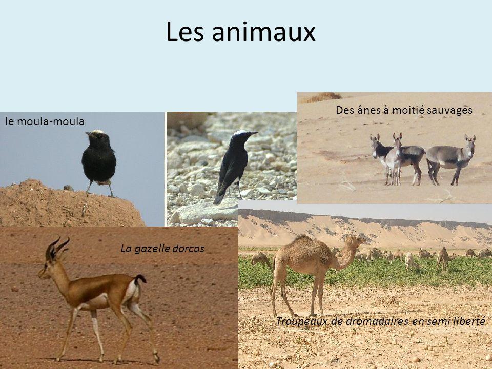 Les animaux La gazelle dorcas le moula-moula Troupeaux de dromadaires en semi liberté Des ânes à moitié sauvages