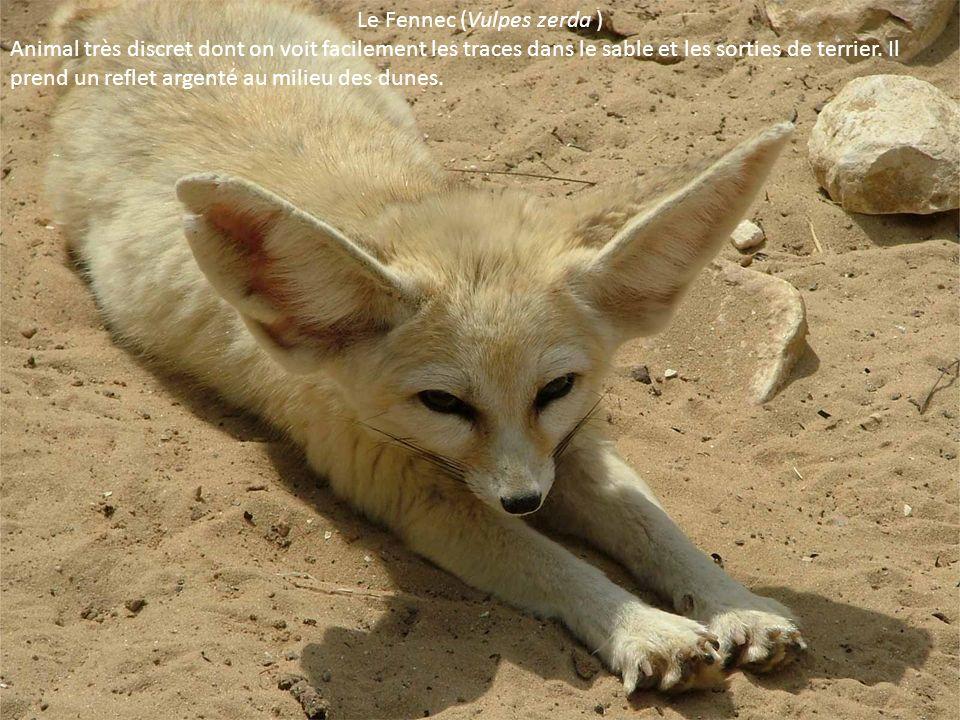 Le Fennec (Vulpes zerda ) Animal très discret dont on voit facilement les traces dans le sable et les sorties de terrier. Il prend un reflet argenté a