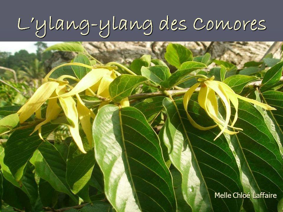 De la plante à lhuile Lylang-ylang (Cananga odorata (Lamarck) J.D.