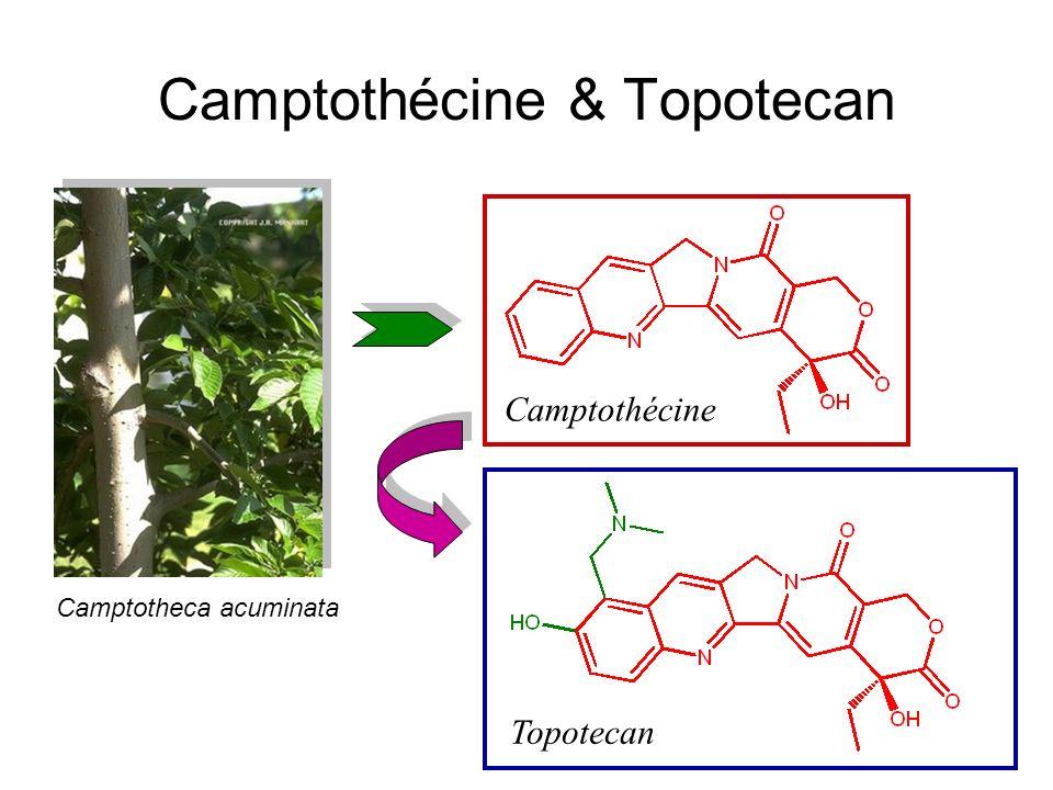 Camptothécine & Topotecan Camptothécine Topotecan Camptotheca acuminata
