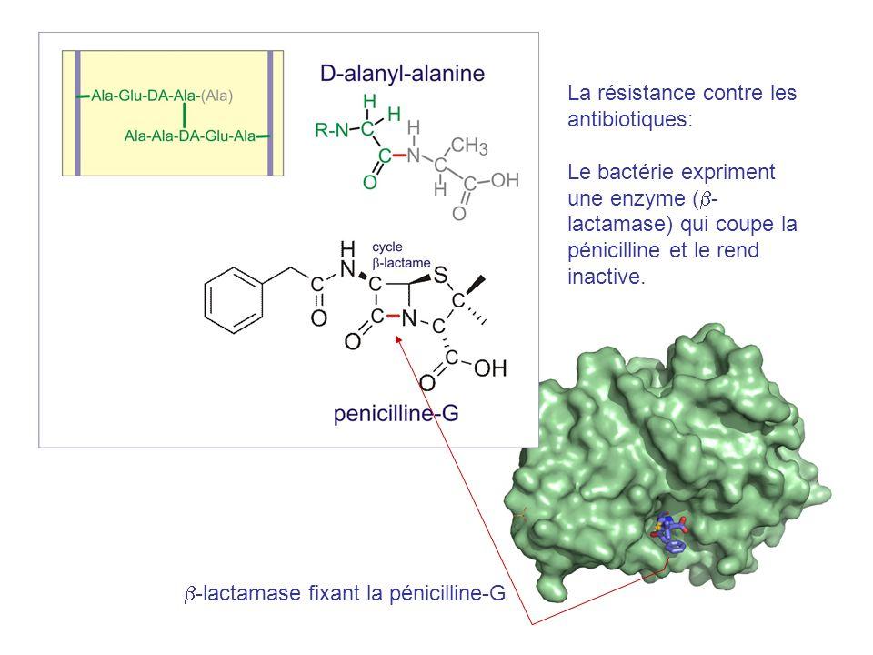 La résistance contre les antibiotiques: Le bactérie expriment une enzyme ( - lactamase) qui coupe la pénicilline et le rend inactive.