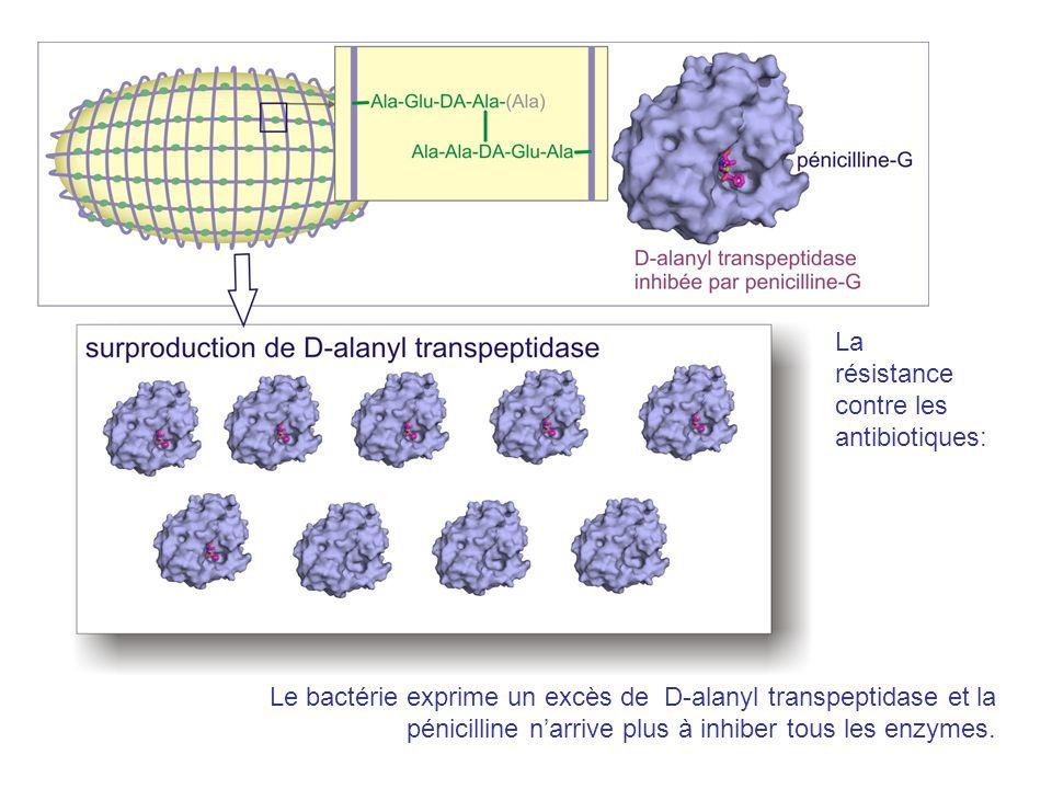 Le bactérie exprime un excès de D-alanyl transpeptidase et la pénicilline narrive plus à inhiber tous les enzymes. La résistance contre les antibiotiq