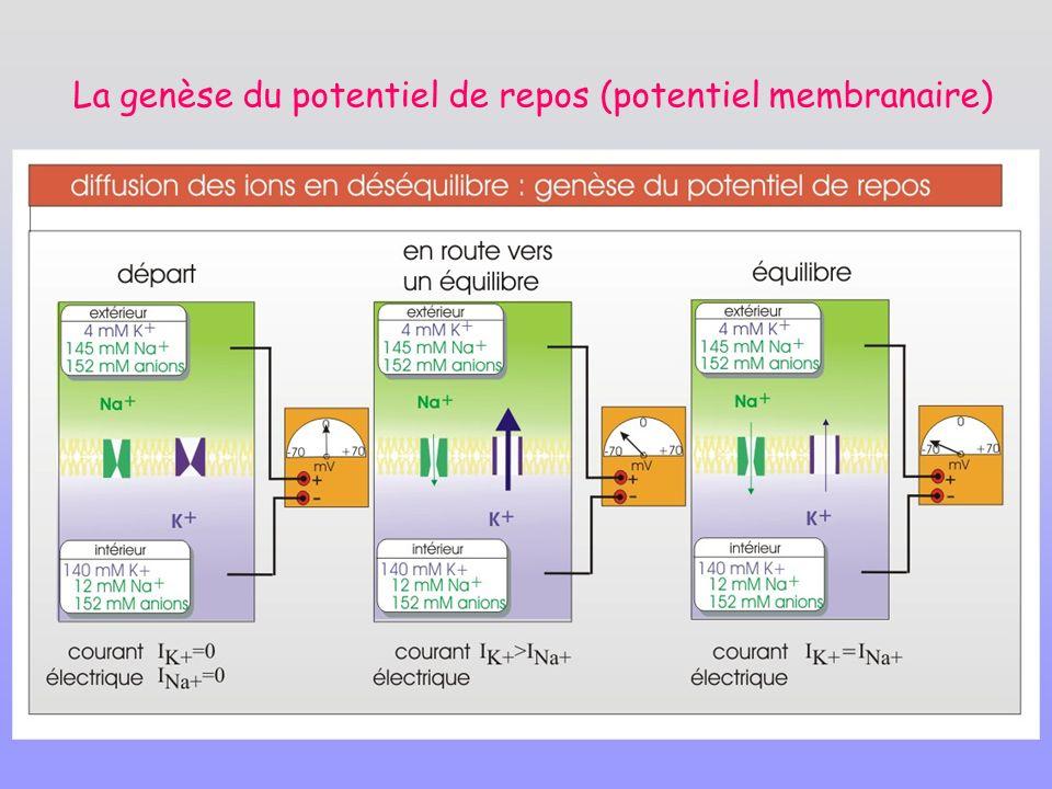 La genèse du potentiel de repos (potentiel membranaire)