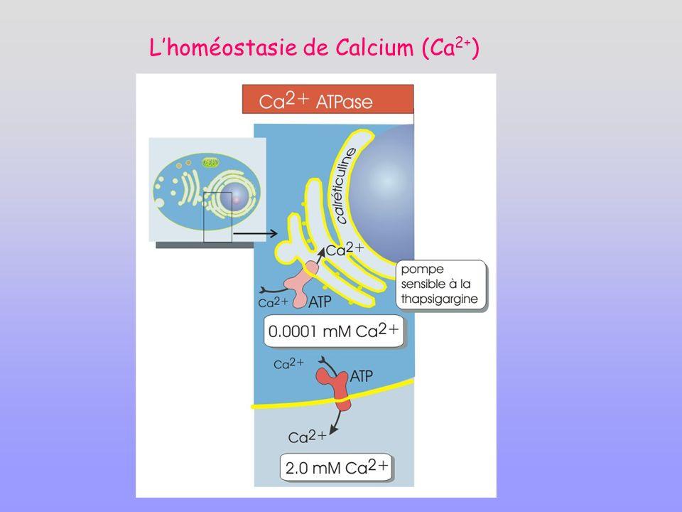 Lhoméostasie de Calcium (Ca 2+ )
