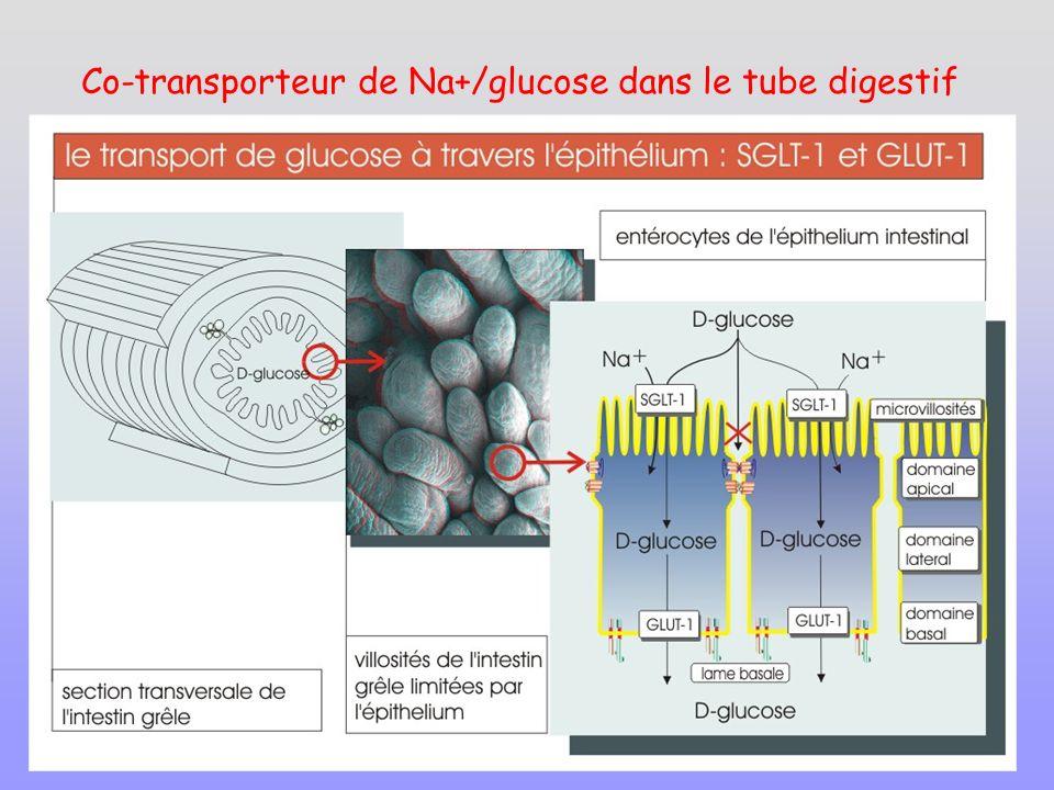 Co-transporteur de Na+/glucose dans le tube digestif