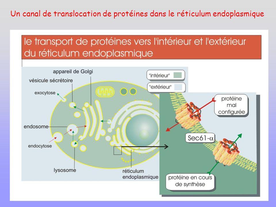 Un canal de translocation de protéines dans le réticulum endoplasmique