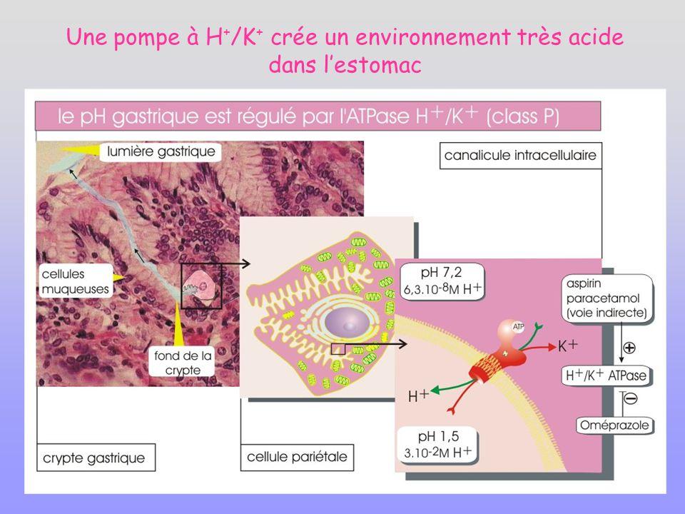Une pompe à H + /K + crée un environnement très acide dans lestomac