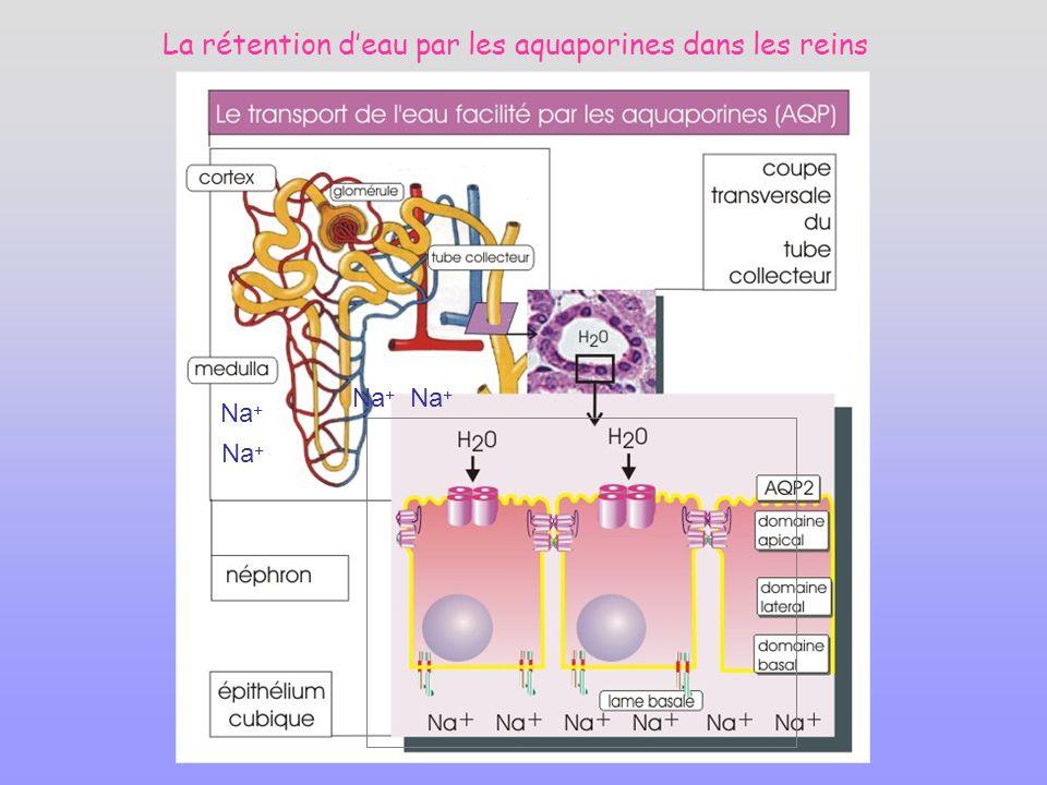 La rétention deau par les aquaporines dans les reins Na +