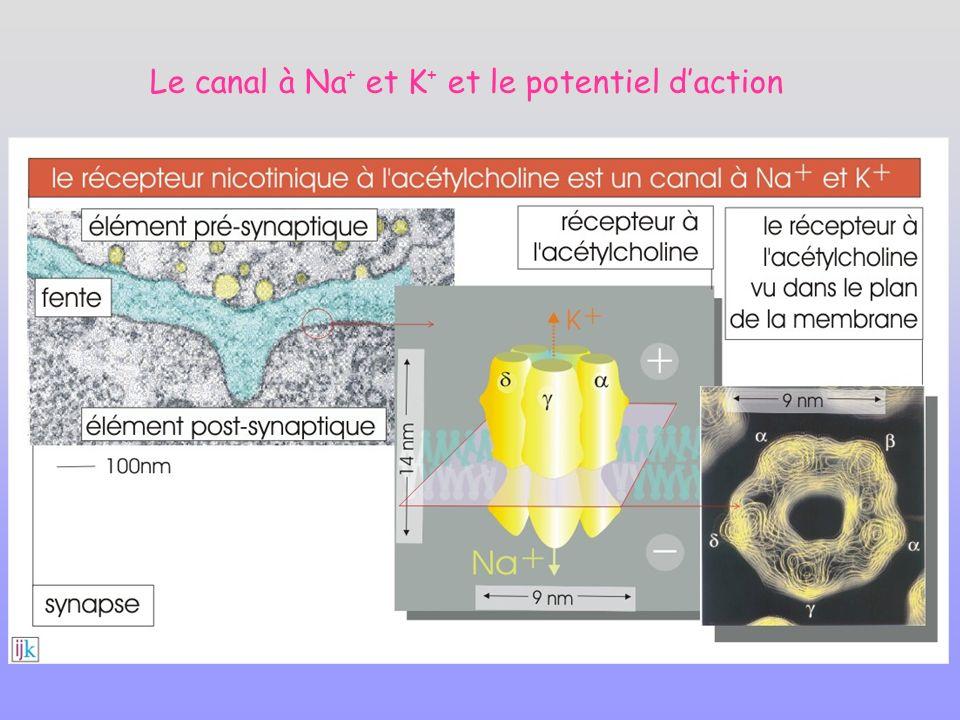 Le canal à Na + et K + et le potentiel daction