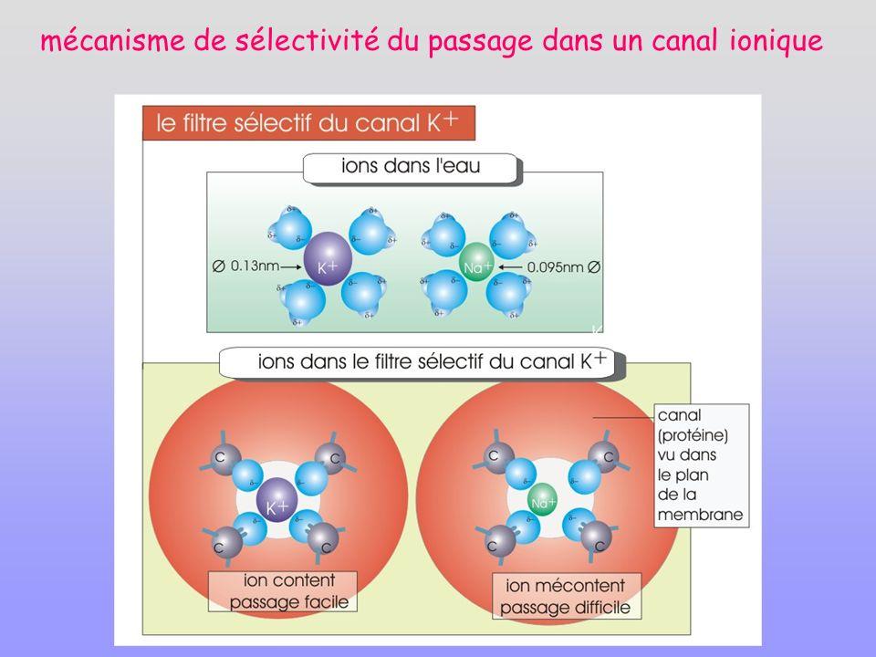 mécanisme de sélectivité du passage dans un canal ionique