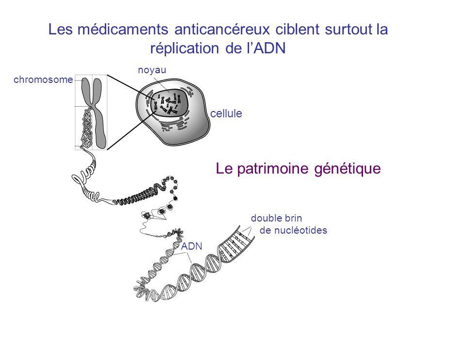 noyau chromosome cellule ADN double brin de nucléotides Les médicaments anticancéreux ciblent surtout la réplication de lADN Le patrimoine génétique