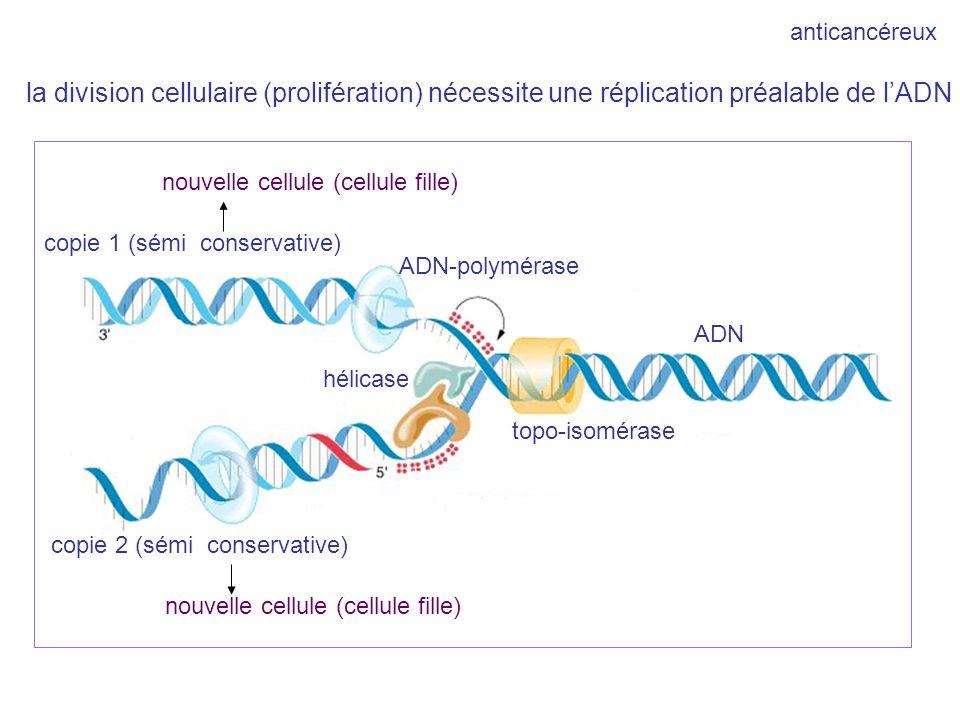 ADN copie 1 (sémi conservative) copie 2 (sémi conservative) hélicase topo-isomérase ADN-polymérase nouvelle cellule (cellule fille) anticancéreux la d