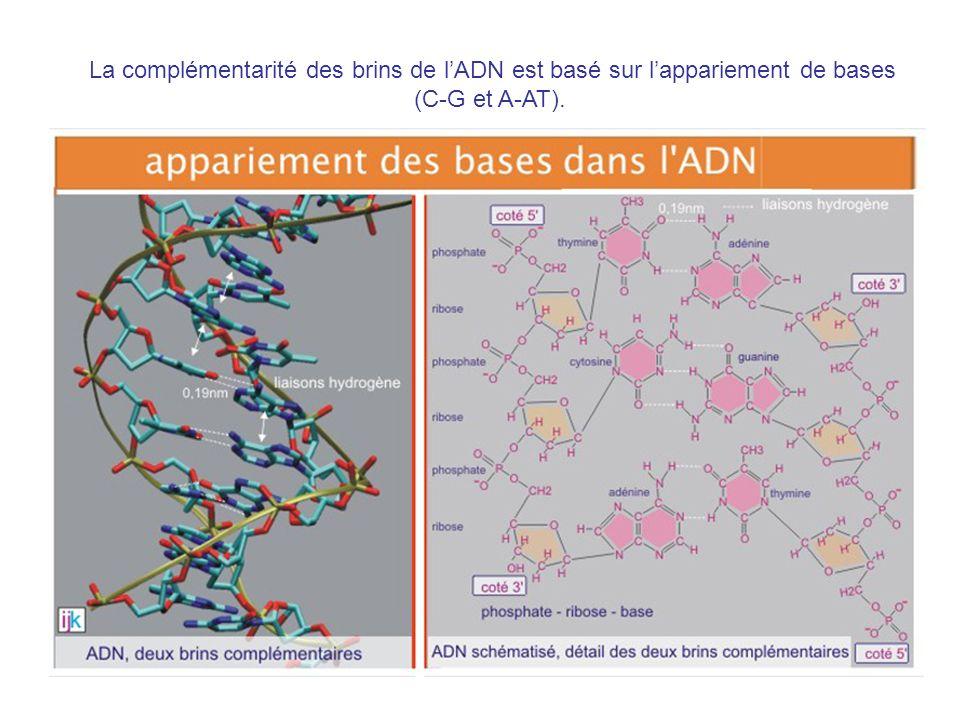 La complémentarité des brins de lADN est basé sur lappariement de bases (C-G et A-AT).