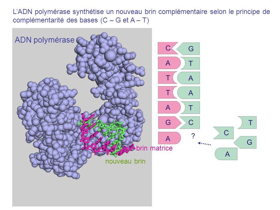 nouveau brin ADN polymérase brin matrice LADN polymérase synthétise un nouveau brin complémentaire selon le principe de complémentarité des bases (C –