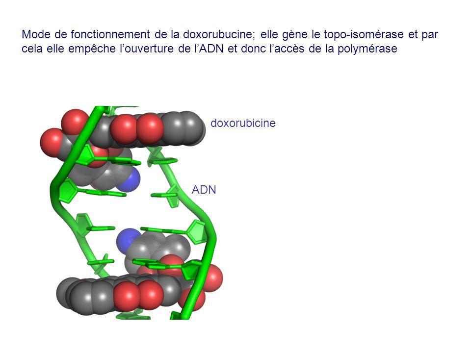 Mode de fonctionnement de la doxorubucine; elle gène le topo-isomérase et par cela elle empêche louverture de lADN et donc laccès de la polymérase dox