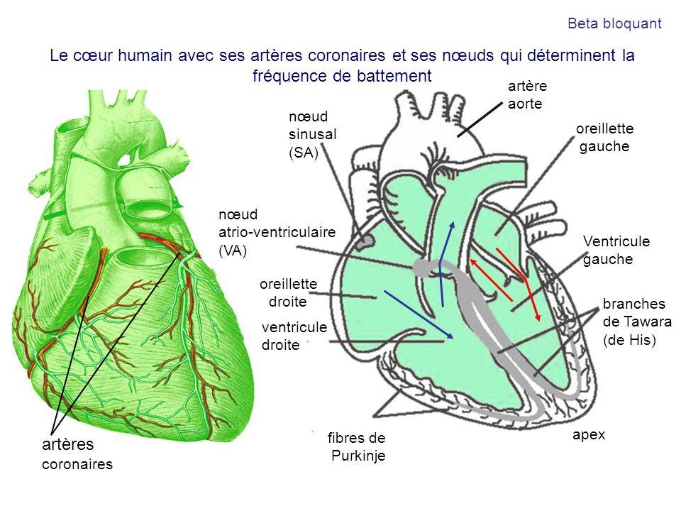artère aorte oreillette droite ventricule droite Ventricule gauche artères coronaires oreillette gauche apex nœud sinusal (SA) nœud atrio-ventriculair