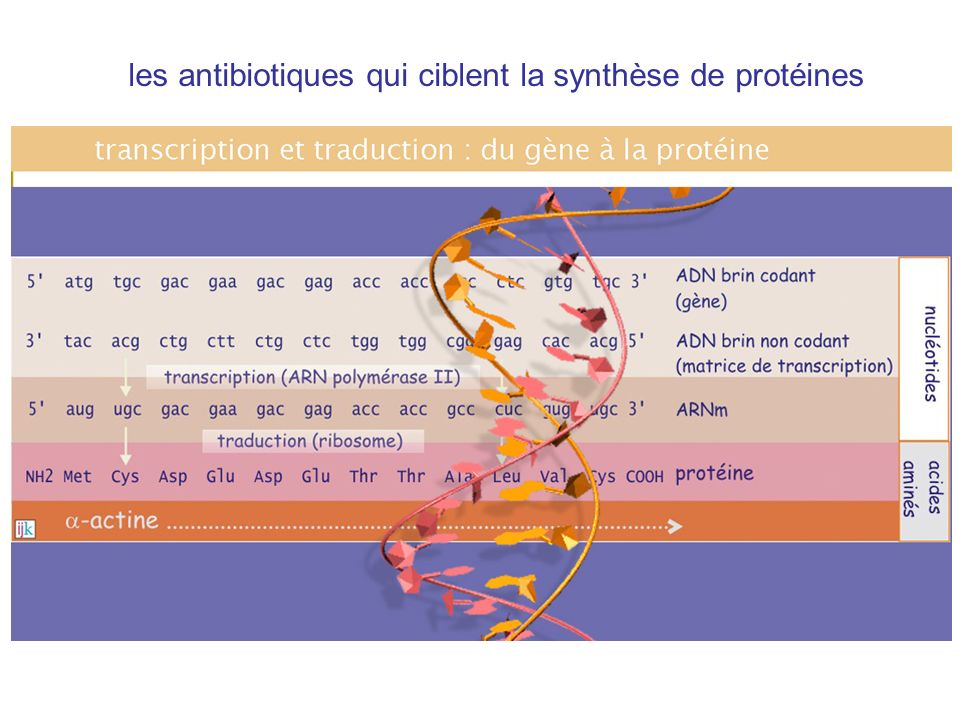 les antibiotiques qui ciblent la synthèse de protéines