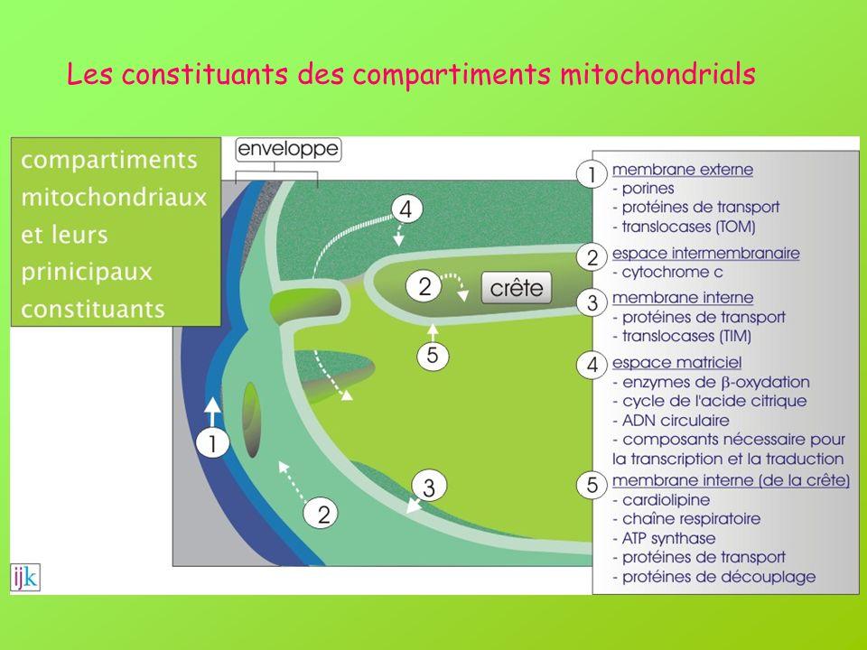 Les constituants des compartiments mitochondrials
