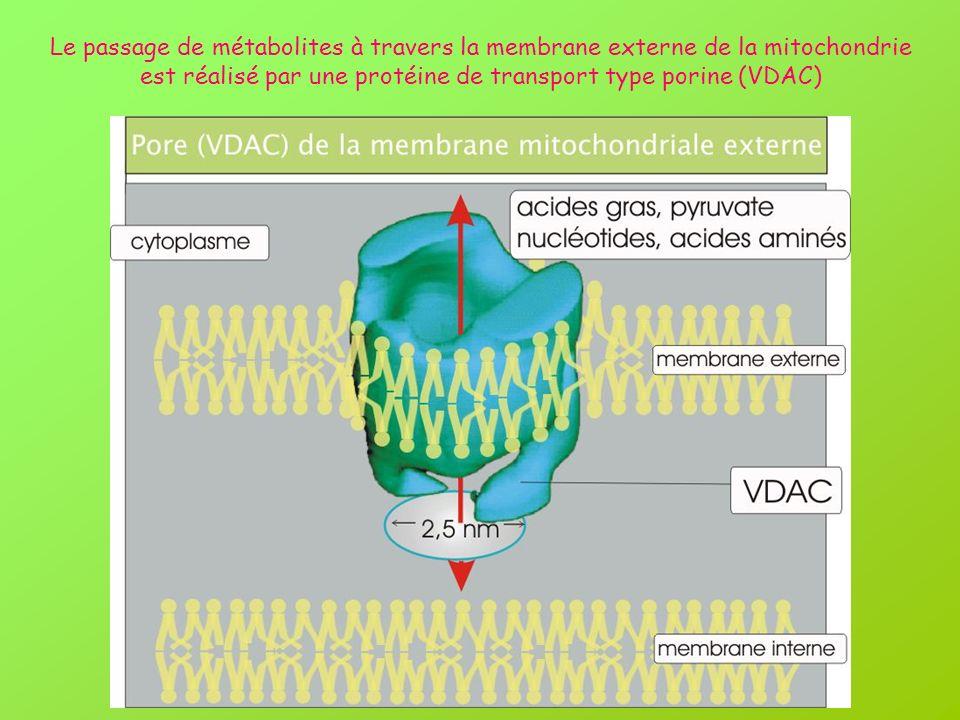Le passage de métabolites à travers la membrane externe de la mitochondrie est réalisé par une protéine de transport type porine (VDAC)