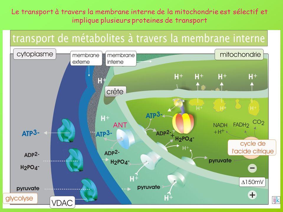 Le transport à travers la membrane interne de la mitochondrie est sélectif et implique plusieurs proteines de transport ANT