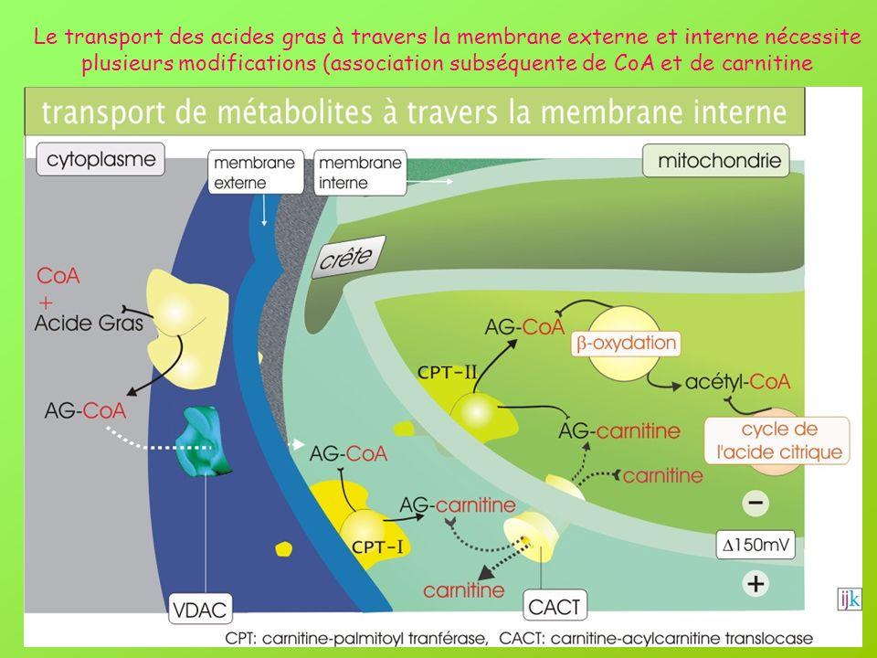 Le transport des acides gras à travers la membrane externe et interne nécessite plusieurs modifications (association subséquente de CoA et de carnitin