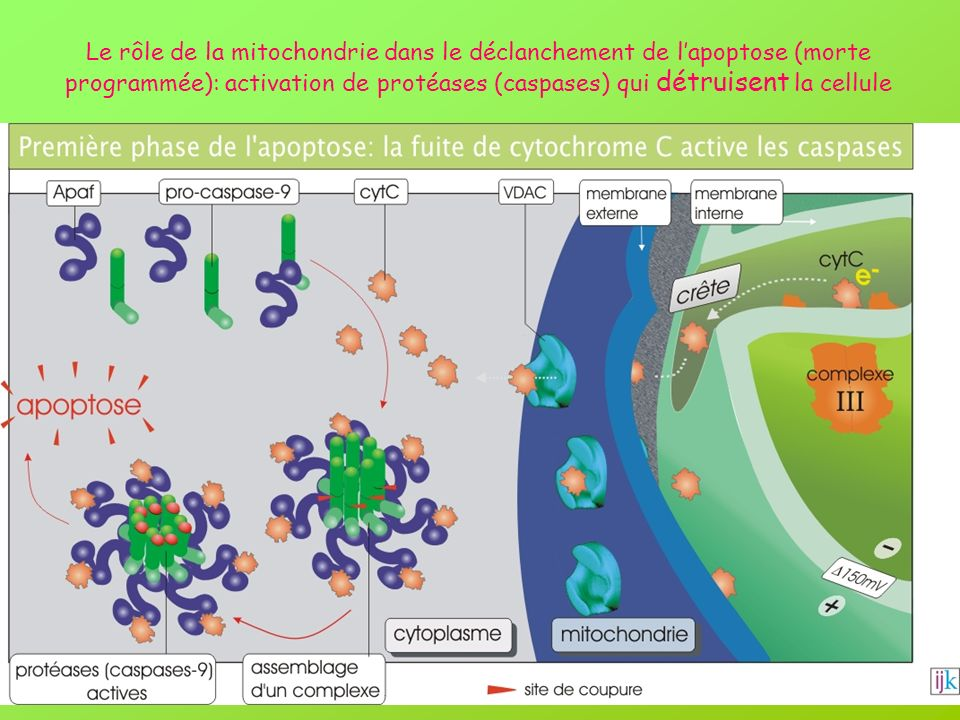 Le rôle de la mitochondrie dans le déclanchement de lapoptose (morte programmée): activation de protéases (caspases) qui détruisent la cellule