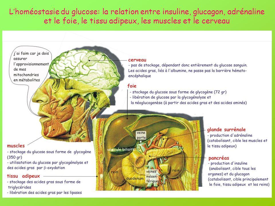 Lhoméostasie du glucose: la relation entre insuline, glucagon, adrénaline et le foie, le tissu adipeux, les muscles et le cerveau