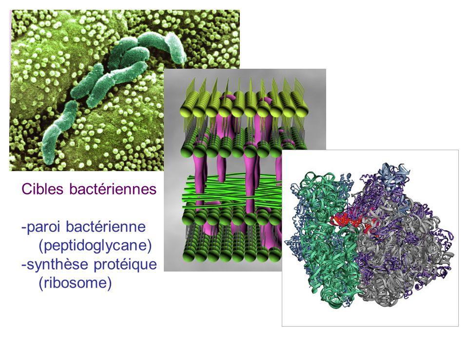 Cibles bactériennes -paroi bactérienne (peptidoglycane) -synthèse protéique (ribosome)