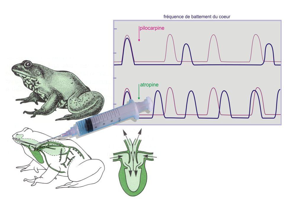 Atropine et pilocarpine ninterviennent pas directement dans la machinerie contractile du cœur