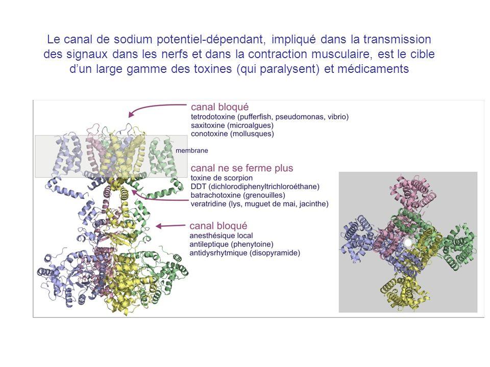 Le canal de sodium potentiel-dépendant, impliqué dans la transmission des signaux dans les nerfs et dans la contraction musculaire, est le cible dun l