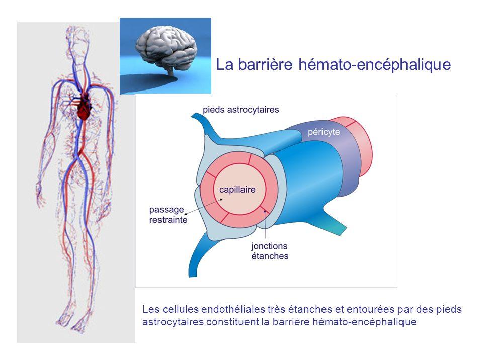 Blood brain barrier et meningitis figure 7.10 La barrière hémato-encéphalique Les cellules endothéliales très étanches et entourées par des pieds astr