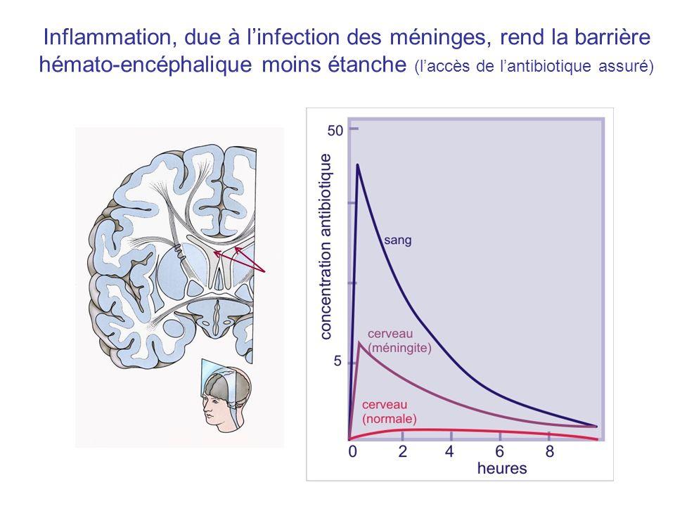Inflammation, due à linfection des méninges, rend la barrière hémato-encéphalique moins étanche (laccès de lantibiotique assuré)