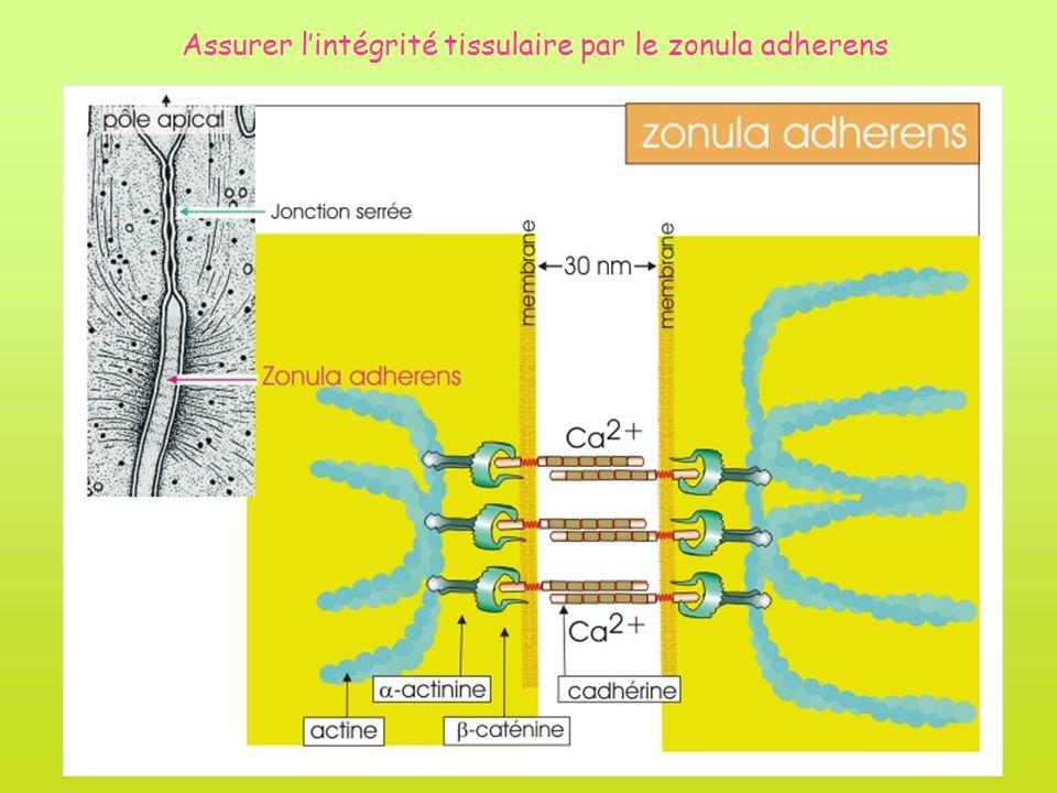 Assurer lintégrité tissulaire par le zonula adherens