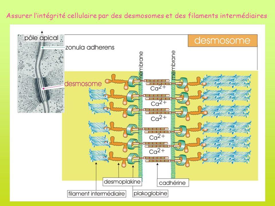 Assurer lintégrité cellulaire par des desmosomes et des filaments intermédiaires