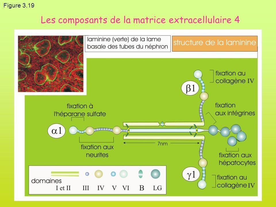 Figure 3.19 Les composants de la matrice extracellulaire 4