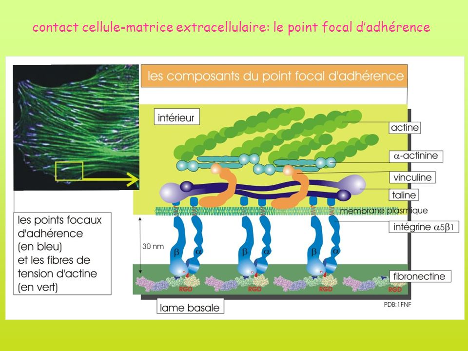 contact cellule-matrice extracellulaire: le point focal dadhérence