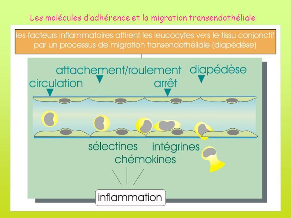 Les molécules dadhérence et la migration transendothéliale