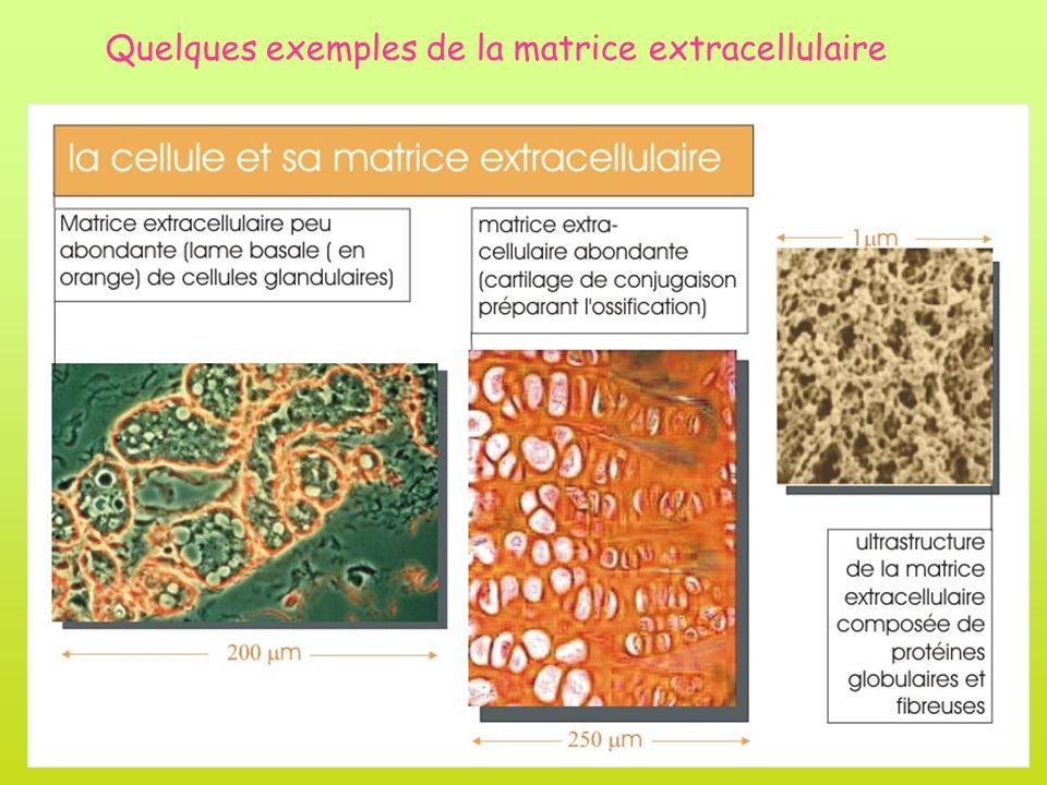 Quelques exemples de la matrice extracellulaire