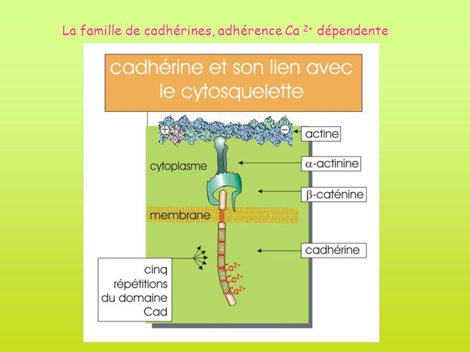 La famille de cadhérines, adhérence Ca 2+ dépendente
